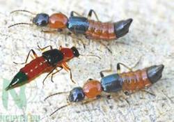 Điều trị viêm da tiếp xúc do côn trùng